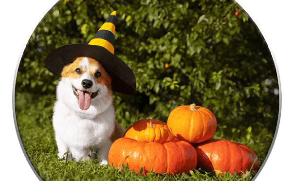 Dog with Halloween hat on sitting near pumpkins